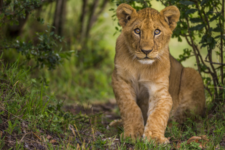 ye: Baby lion is looking to camera curiously and amazed. Two baby lions are standing in the middle of the shrubbery. It is looking to the camera curiously, amazed and shy. It is a front view photo. Its face and foreleg can seen clearly. They have brown and ye