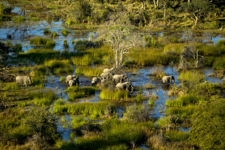 okavango delta: Elephant family is walking in the water. A group of elephant walking at Okavango Delta. Some of them are infants and others are adults. Aerial photography. Its day time. Elephants walking in water and plants that color brown and yellow grass. The blue col