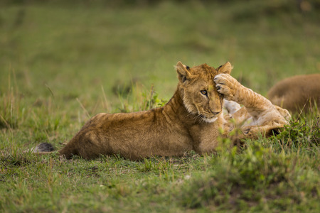 lying on back: Baby lions are playing on the grass. Two baby lion are playing on the grass. One of them lying back on grasses. The other one is sitting. The focus is on lion and the grasses at the forefront and background with blurred effect. It is day time. The photo h