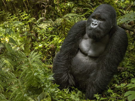 gorillas: Mountain gorilla is sitting and eating leaves. The mountain gorilla sitting in the middle of the leaves. The silverback. His hands are both side. There are green leaves covering the body feeling. Face and shoulders of silverback is clear. Green and black