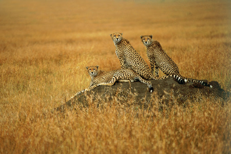 sitting area: Group of adult cheetah watching for hunting on the anthill. A group of cheetah sitting area for preying on the anthill. Three cheetah are watching for hunting. The background color is yellow. They have a slender body, deep chest, spotted pelage, a small r
