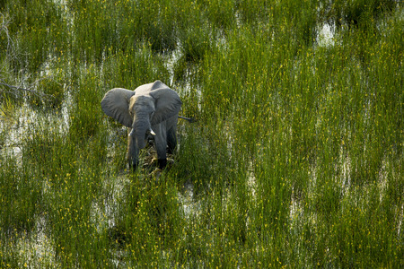 tusk: The elephant is walking in the Okavango Delta. The elephant is walking on wetland area in the Okavango basin. It is in the middle of the green field. It is blown away with the entire body can see it is tusk. There are yellow flowers are on the top of gras Stock Photo