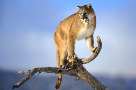 head shoulders: Mountain lion is standing on deadwood and roaring. The male mountain lion is standing on the dead wood. Mountain lion is roaring. He has green eyes. The mountain lion in the middle of the frame. His head, shoulders, forepaws, claws, tail and can see the e