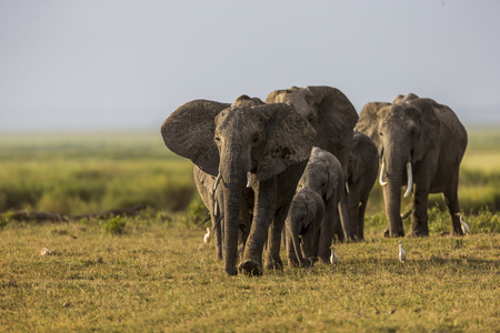blown away: Elephant family is walking in Amboseli plain. Elephant family is walking. The photo had been taken in in Amboseli, Kenya. It is a daytime. Entire body of two adults can see that the tusk was blown away with them. Some of the babies also can see. White bir