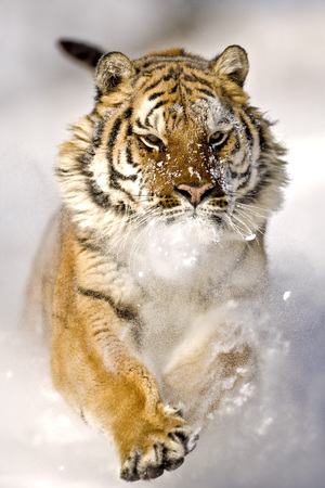 blown away: The Amur tiger is running and snowflakes are hitting the face feels. Adult male Amur tiger is running on the snow with fearless look on face. It is a front view. His forelegs are lifted. His right paw, his face and ears can see that blown away. Snowflakes