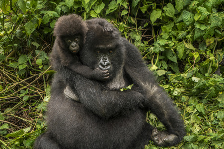 looking towards camera: Mother and baby mountain gorillas playing area. Mother mountain gorilla is sitting in the middle of the leaves. They are in the middle of the leaves. Infant gorilla is sitting on her shoulder and holding tightly. They are looking towards camera. The baby