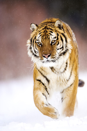 blown away: The adult male amur tiger is walking on the snow. One of feeling paw on the ground and the other one is lifted for walking movement. He is walking the catwalk style. It?sa front view. His head and forelegs of the paws and one can see that blown away. The
