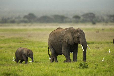 african solidarity: Mother and baby elephant walking on plains area. Mother and baby elephant are walking in a single line. Baby elephant is walking behind the mother. It is a side view. It is daytime. The photo had been taken in Amboseli, Kenya. The focus is on elephants, b Stock Photo