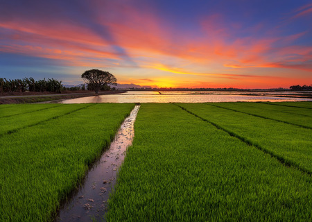 Paddy field with ray of light at sunset time