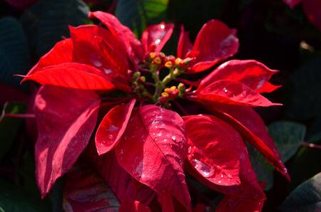 pulcherrima: Red poinsettia fiore (Euphorbia pulcherrima), alias Stella di Natale, primo piano.