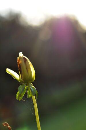 Light shining down on tattered flower bud.