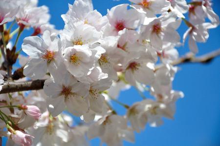 imperial: Cherry tree of the Shinjuku Imperial garden Stock Photo