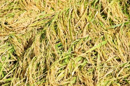 The ripe golden rice fields
