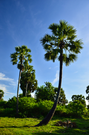 Palm sugar in the field photo