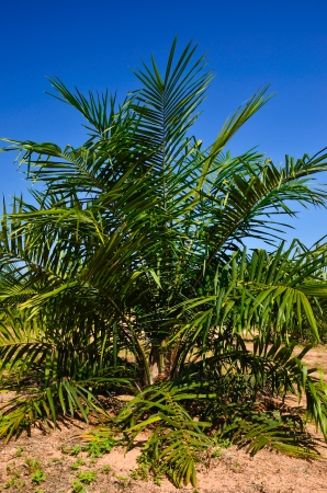 cpo: Palm cultivation