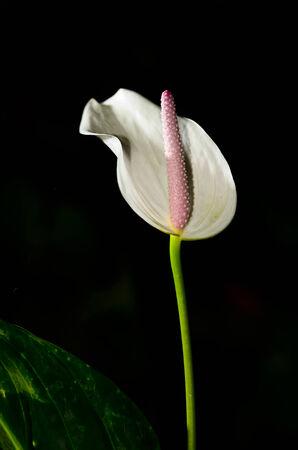 White Anthurium flower on black background photo