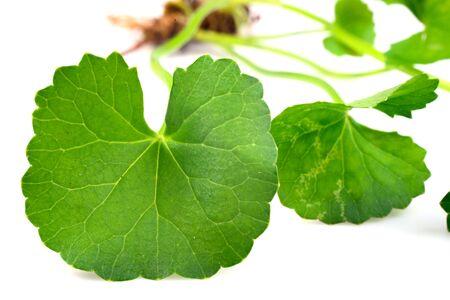 sued: Centella asiatica, Asiatic Pennywort
