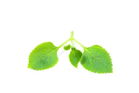 siam: green herbal siam weed