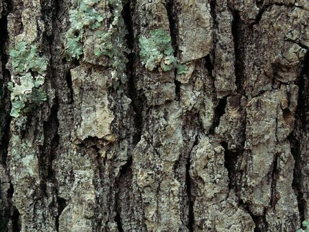Red Oak bark close-up with green moss growing on it