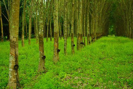 rubber tree photo