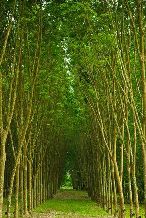 tree plantation: rubber tree