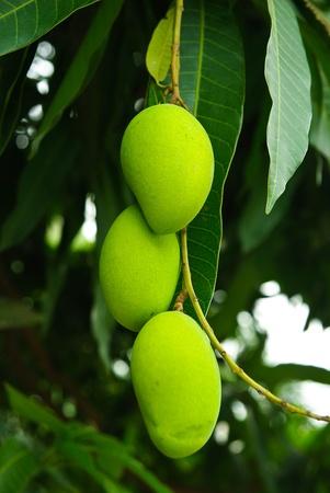 mango leaves: Mango Tree Stock Photo