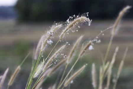blown: Wind blown grass in the evening