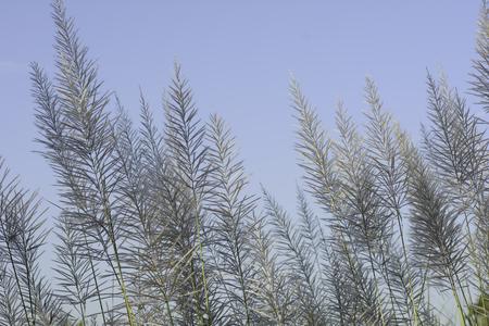 wind blown: Wind blown grass in the evening