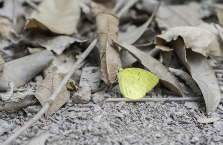butterfly stationary: Yellow butterfly on dry leaves .