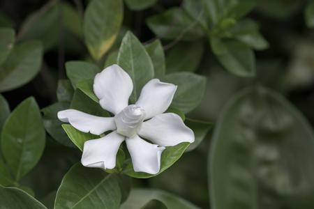 beautifu: Beautifu lwhite  flowers bloom on blurred background