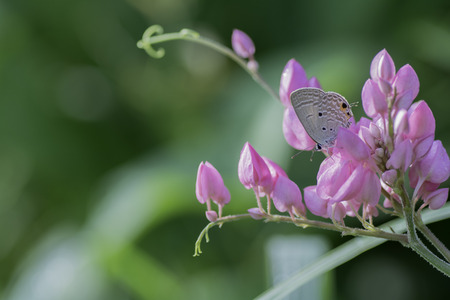 Little Butterfly sucking nectar from pink flowers . Stock Photo