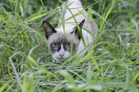 Thailand cat in the grass Stock Photo