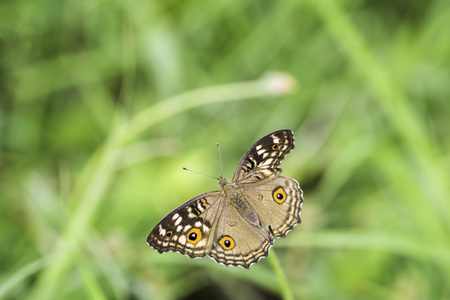 is green: The Lemon Pansy Butterfly wings absent on the background blurred .