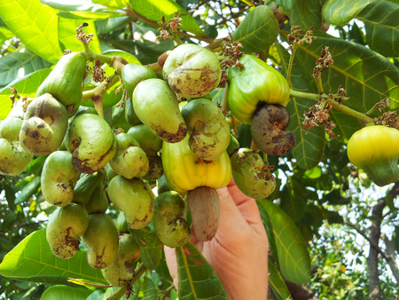 nuts: picking cashew on trees