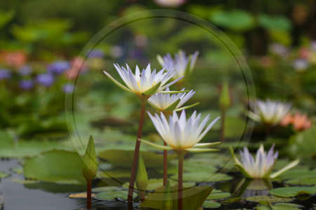 water lily, lotus in nature soft focus for background Stock Photo