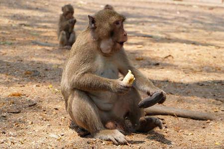 comiendo platano: mono que come el plátano en Tailandia Foto de archivo