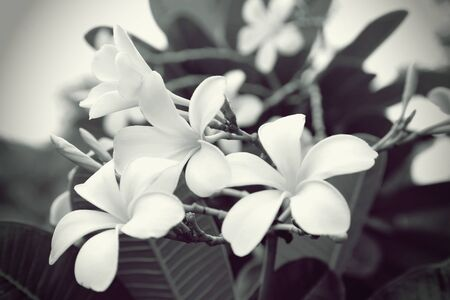 Plumeria flowers in black and white