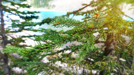 firtree: Branches of green fir-tree on blur blue lake background