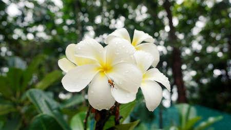 White plumeria, Frangipani tropical flowers