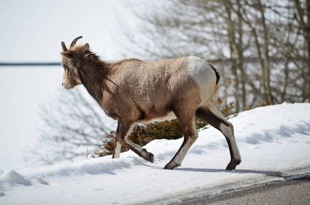 Mountain goat in National Park walk away from road Stok Fotoğraf - 75210708