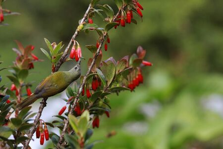 sunbird: Green-tailed Sunbird Stock Photo