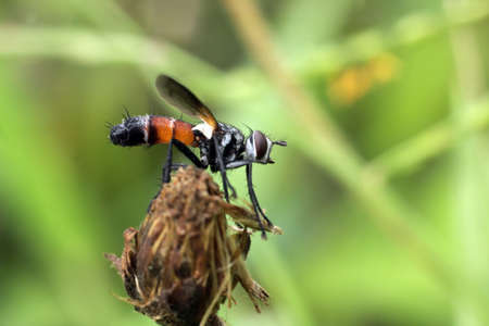 Conopidae, commonly known as thick headed flies.