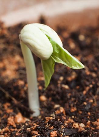 germination: Una semilla de frijol germinado justo, bienvenida la luz del sol