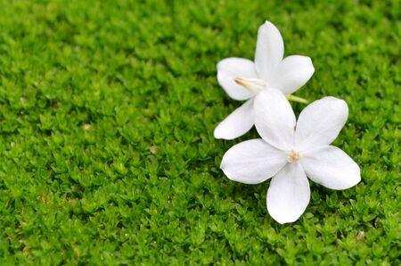 mosses: White flowers on mosses