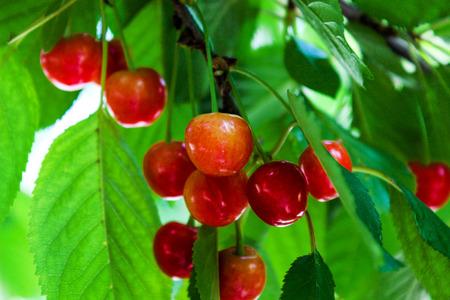 tempting: Tempting cherries