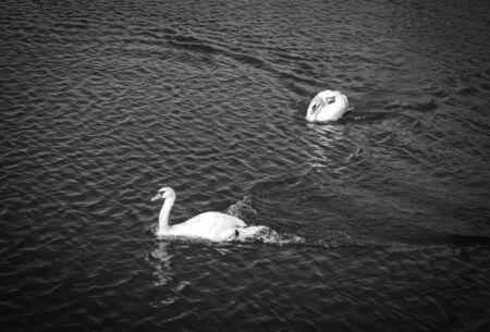 swans: Swans cruising