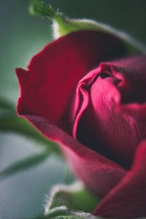 red rose bokeh: Red rose macro Stock Photo