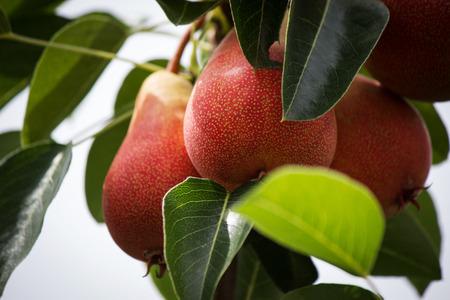 ripe: Ripe pears