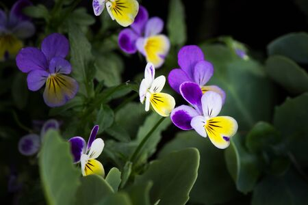 violas: Colorful violas
