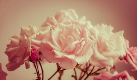 Pink roses Banque d'images - 66262744